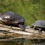 Abandoned Turtles Threaten the Gandia Marsh