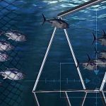 New Counting System to Calculate Biomass and Count Bluefin Tuna