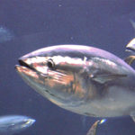 New Biometric Relationships Provide Better Estimates of Bluefin Tuna Weight
