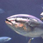 Noves relacions biomètriques permeten una millor estimació del pes de la tonyina roja
