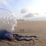 The Portuguese Man O'Wars Invading the Mediterranean Will Die off as Summer Progresses