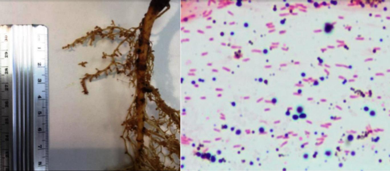 Nodulación observada en leguminosas y bacterias encontradas en los nódulos.
